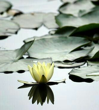 Lotus Mindfulness Therapeutic Therapy